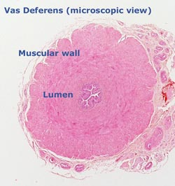 vas deferens micro cross-section