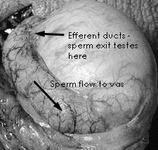 testes & epididymis